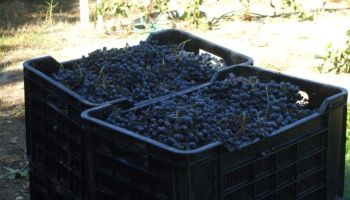Lug boxes are used to collect and transfer the grapes to the Cellar. Each lug box contains 20 kg of grapes. Each bottle of wine contains 1.2 kg.