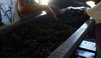 Early morning 26th of February grapes are sorted by hand to remove underdeveloped or damaged grapes.